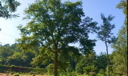 夏のシンボルツリー