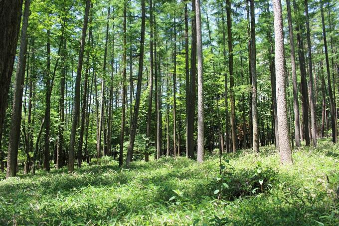 本土地内。落葉松などの林になっています。